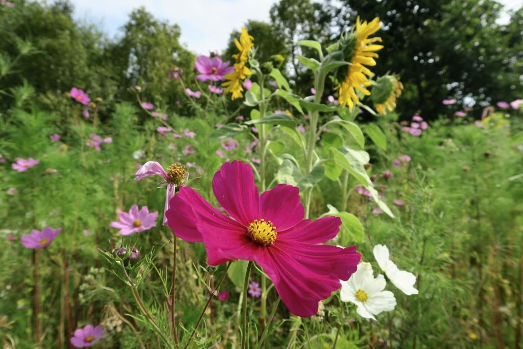wild flowers, cheltenham